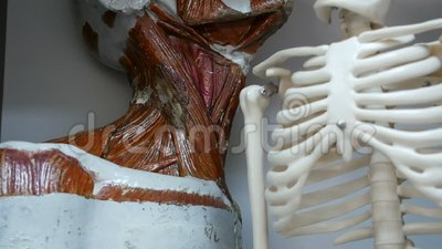 Ludzkiej głowy anatomii model dla edukacji i sceleton modelujemy w klasie zbiory