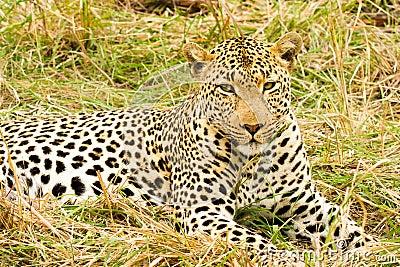 Luipaard in bush in zuid afrika stock afbeelding afbeelding 38151181 - Bush architectuur ...
