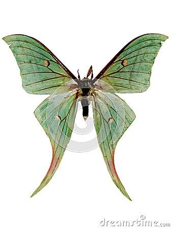 Free Luna Moth Stock Image - 10590051
