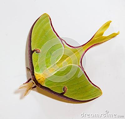 Free Luna Moth Royalty Free Stock Photos - 24089488