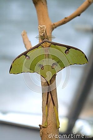 The luna moth (Actias luna)
