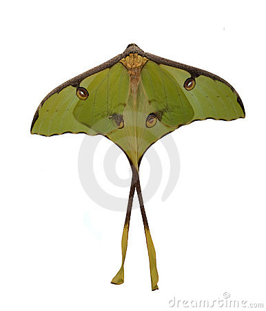 The luna moth (Actias luna)