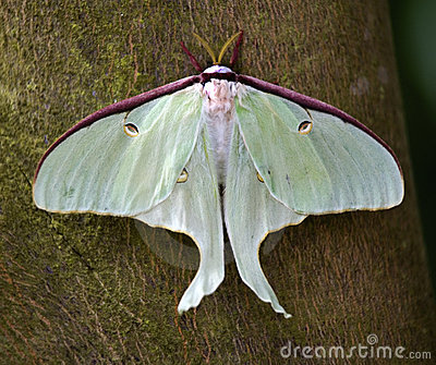Luna Moth Butterfly