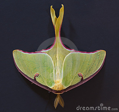 Luna Moth on Dark Background