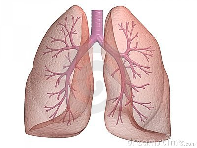Lung with bronchi