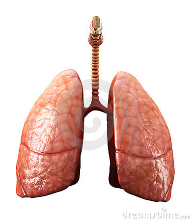 Free Lungs Stock Photos - 18401643