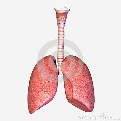 Free Lungs Royalty Free Stock Photography - 39027547