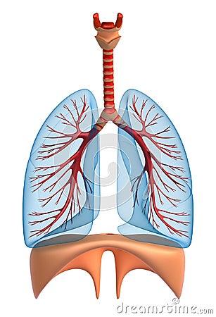 Lungs - pulmonary system