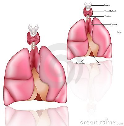 Lungs, Thymus, larinx, thyroid gland