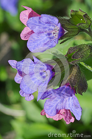 Lungwort flower