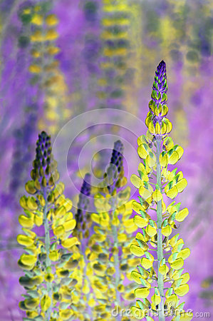 Free Lupin Flowers Stock Photo - 66569740