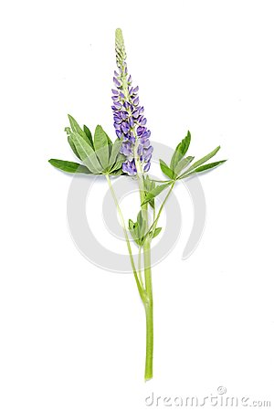Free Lupin Violet Flower On White Background Royalty Free Stock Images - 100386869
