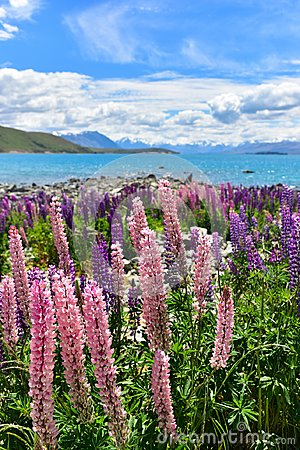 Free Lupine Field In New Zealand Stock Image - 105755941
