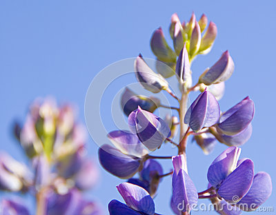 The lupine flower on the blue sky
