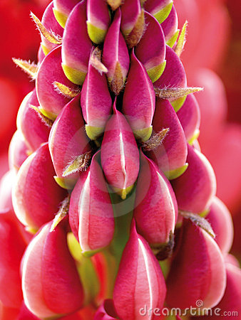 Lupine. A garden flower. Purple.
