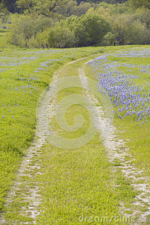 Lupine lined dirt road