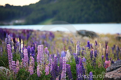 Lupines by the lake Tekapo