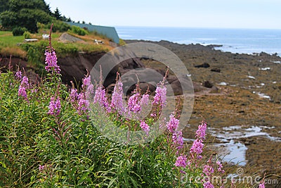 Lupines at low tide