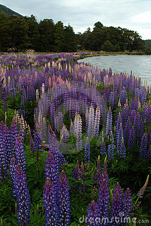 Free Lupins Royalty Free Stock Photo - 655165