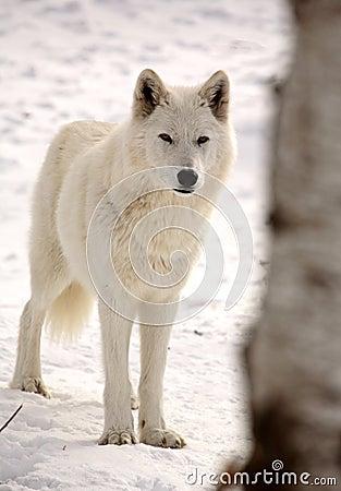 Lupo artico in inverno
