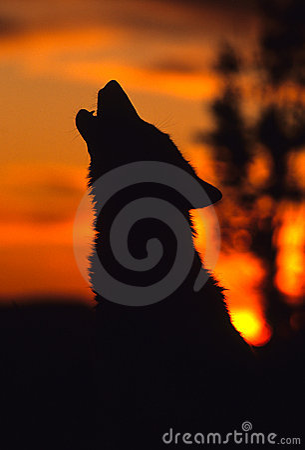 Lupo grigio che urla all alba