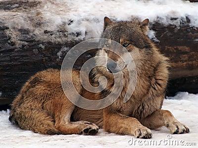 Lupo grigio in inverno fotografie stock libere da diritti - Animali in inverno clipart ...
