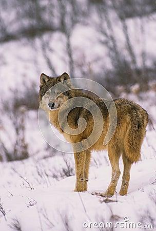 Lupo grigio in inverno fotografia stock libera da diritti - Animali in inverno clipart ...