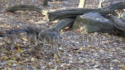 Lupus européen de lupus de Canis de loup gris dans la forêt banque de vidéos
