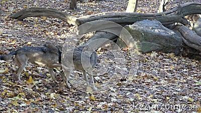 Lupus europeo del lupus de Canis del lobo gris en el bosque almacen de metraje de vídeo