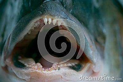 Lura tänder