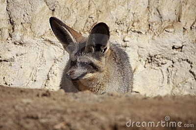 Lurking bat-eared Fox