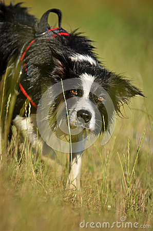 Lurking border collie