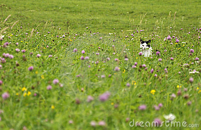 Lurking cat on the summer meadow