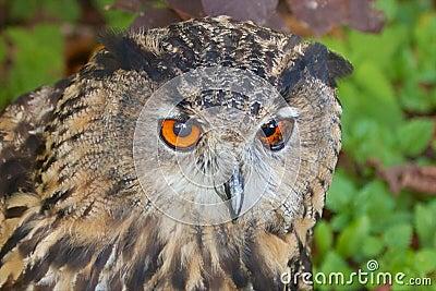Lurking Eagle Owl