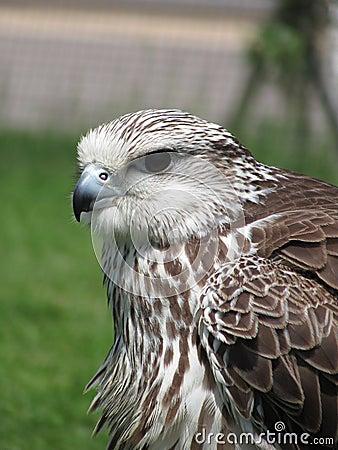 Lurking falcon