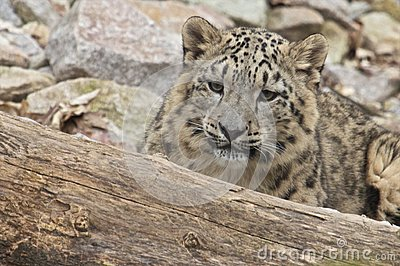 Lurking Snow Leopard