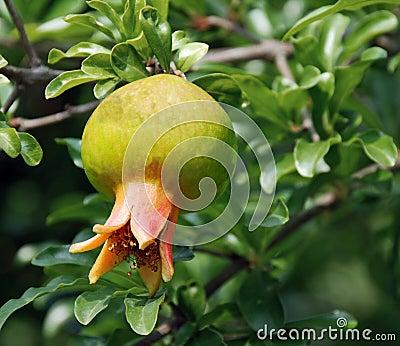 Luscious pomegranate