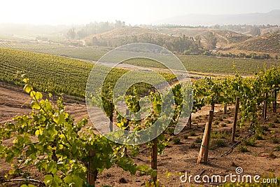 Lush Grape Vineyard in The Morning Sun and Mist