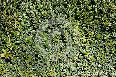 Lush green hedge