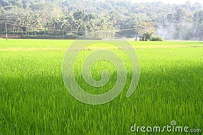 Lush Green Paddy Field