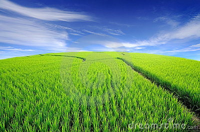 Lush green rice field and blue sky