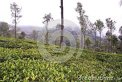 Lush green tea garden