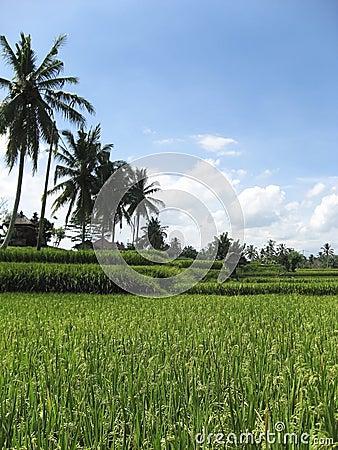 lush green ubud rice fields bali