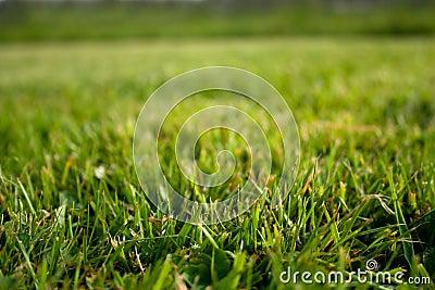 Lush lawn grass