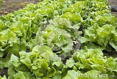 Lush Lettuce Plants in a Community Garden