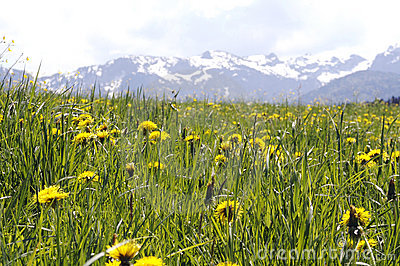 Lush Meadow in the Alps