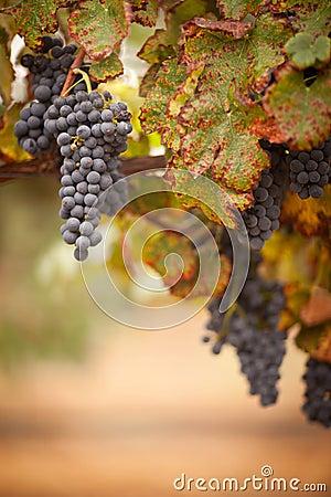 Free Lush, Ripe Wine Grapes On The Vine Stock Images - 16358574