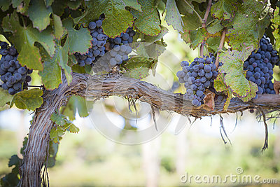 Lush, Ripe Wine Grapes on the Vine