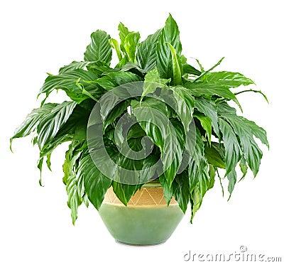 Lush, shiny indoor plant