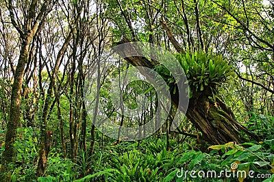 Lush tropical vegetation in Pihea trail